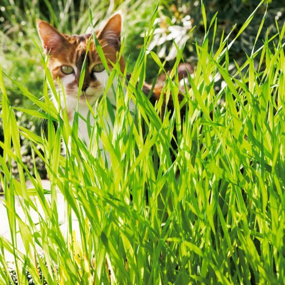 Saatscheibe Katzengras - 20 cm Durchmesser | #4