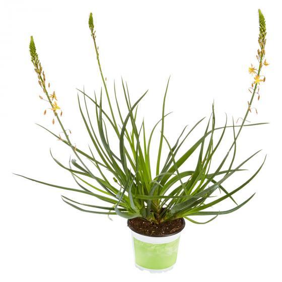 Katzenschwanzpflanze Medicus, im ca. 12 cm-Topf | #4