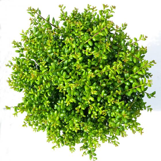 Stechpalme, grün, im ca. 21 cm-Topf | #4