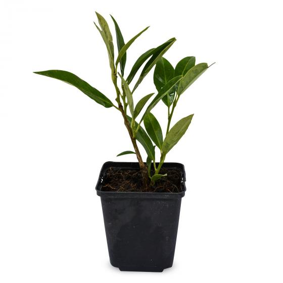 Kirschlorbeer Herbergii, im ca. 9 cm-Topf, Höhe 15-20 cm | #4