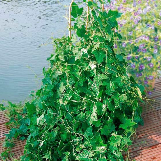 BIO Gemüsepflanze Mexikanische Minigurke | #4