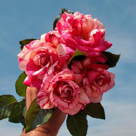 Rose Broceliande®, im 3-Liter-Topf | #4