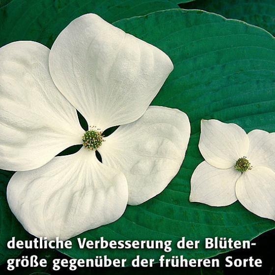 Blumenhartriegel Venus™ | #4