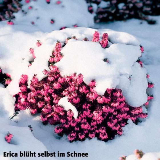 Ziergehölz-Sortiment Schneeheide, im ca. 10 cm-Topf | #4