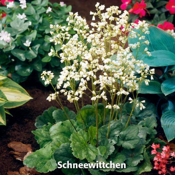 Sortiment Purpurglöckchen, 3 Pflanzen | #4