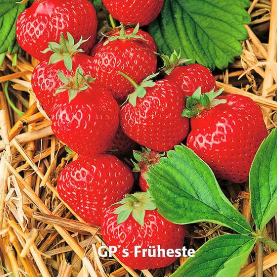 Erdbeerpflanzen-Sortiment Marathon | #4