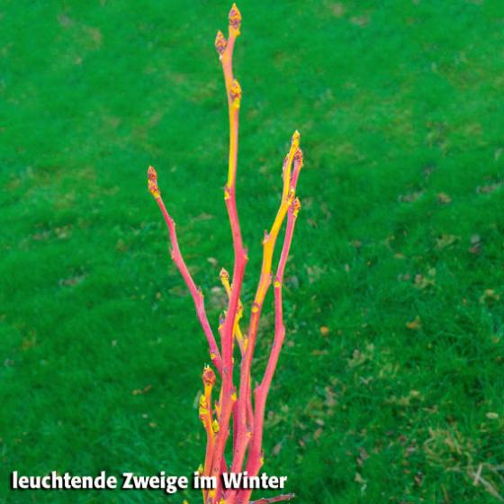 Heidelbeere Pink Blueberry, im ca. 19 cm-Topf | #4