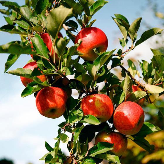 Apfel Topaz(S), Basic | #4