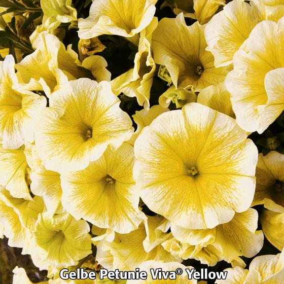 Sommerblumen-Sortiment Petunien | #4