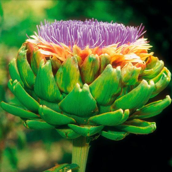 Artischockenpflanze Imperial Star, im ca. 13 cm-Topf | #4
