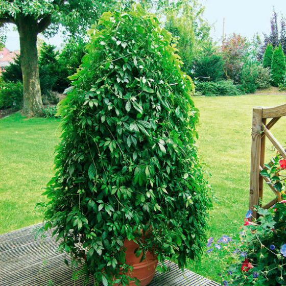 Blu Bio-Kräuterpflanze Unsterblichkeitskraut | #4