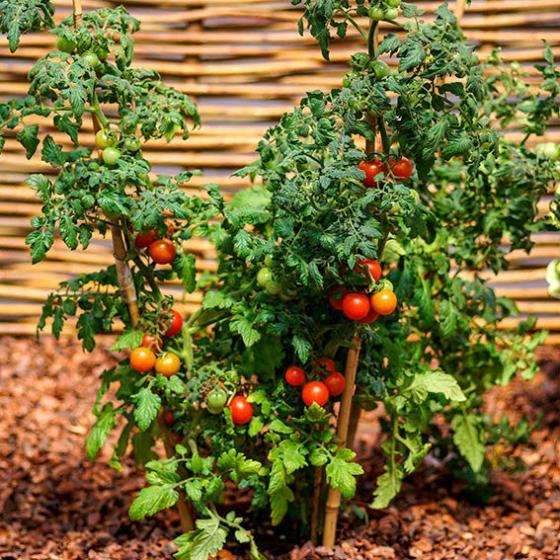 Tomatenpflanze Tomaccio | #4