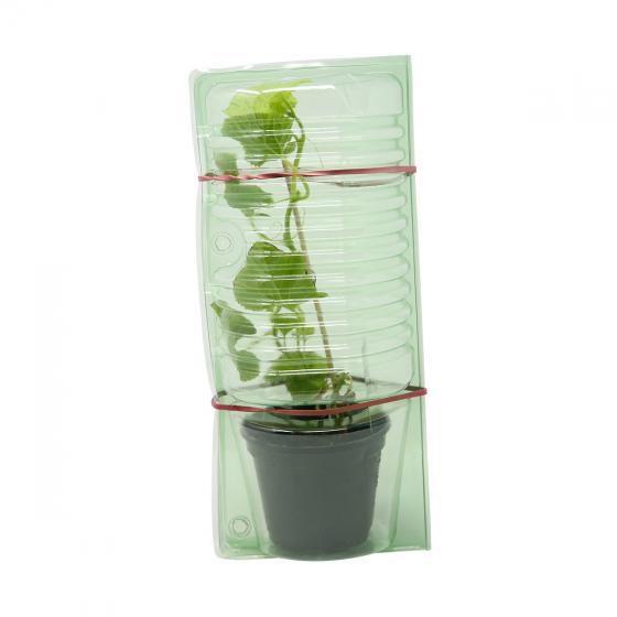 Zuckermelonenpflanze Stellio F1, veredelt, im ca. 10,5 cm-Topf | #4