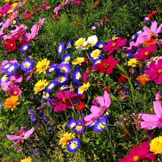 Blumensamen-Mischung Original Mössinger Sommer für 3 qm | #5