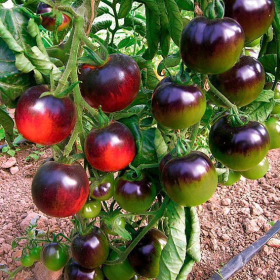 Saatgut-Holzbox Gemüseraritäten, 8 Saatgut-Sorten | #5