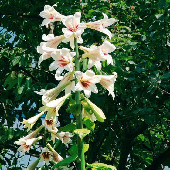 Riesen-Lilie | #5
