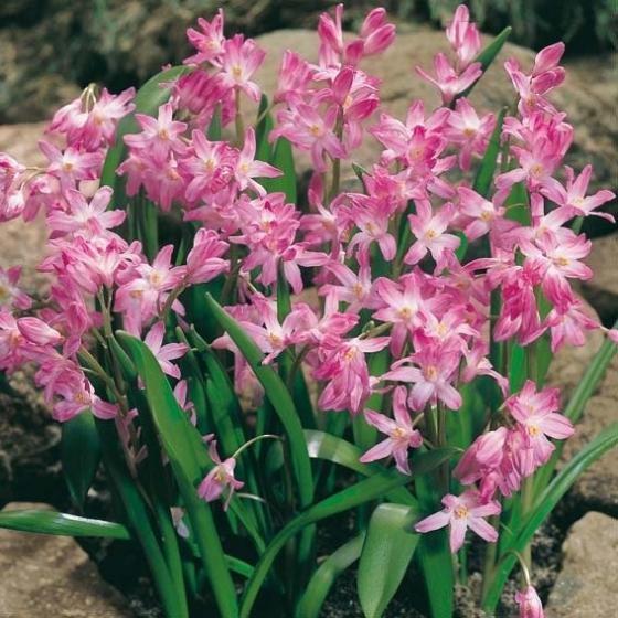 Blumenzwiebel-Sortiment  Pink/Rosa Topf | #5