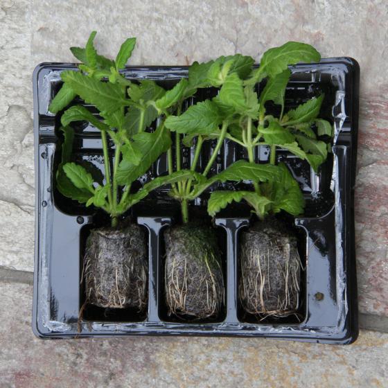 Mini-Jungpflanze Mexikanische Minigurke | #5