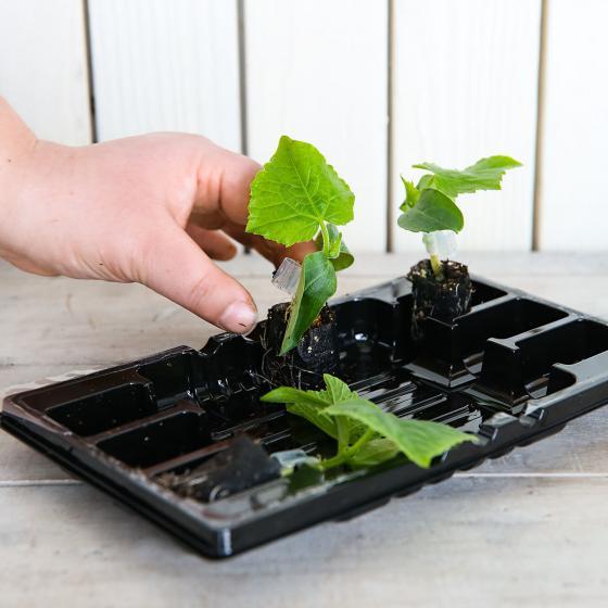 Mini-Jungpflanze Gurke Mini Stars F1, veredelt | #5