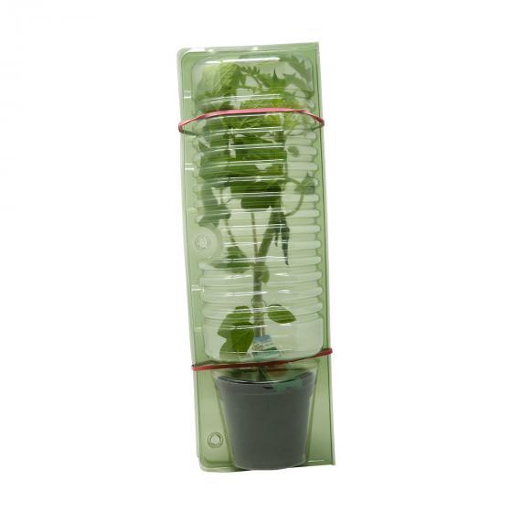 Tomatenpflanze Lizzano F1, im ca. 10,5 cm-Topf | #5