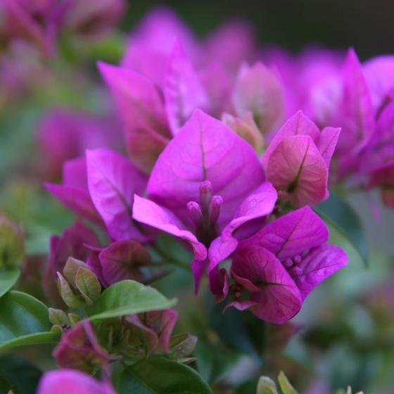Wunderblumen-Stamm, im ca. 19 cm-Topf | #5