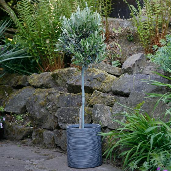 Oliven-Stamm, im ca. 18 cm-Topf | #5
