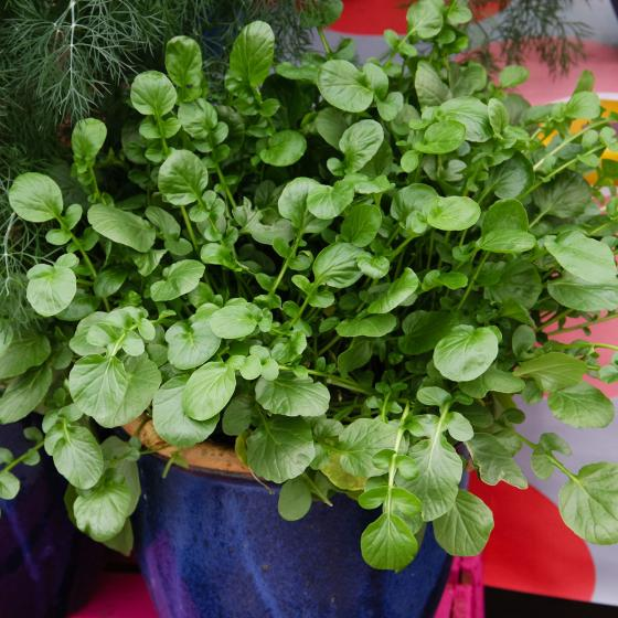 Landkressesamen Simply Salad Cress, Multi-Pellets | #5
