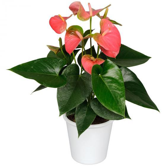 Rosa Flamingoblume, im ca. 12 cm-Topf | #5
