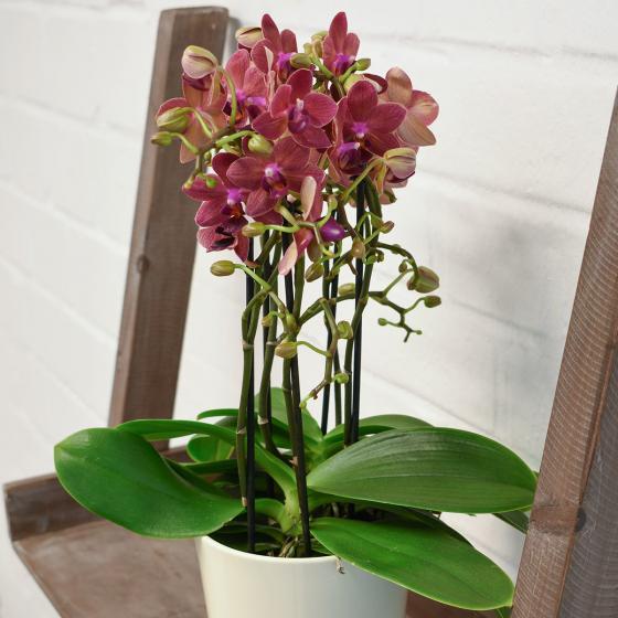 Schmetterlings-Orchidee Sunset, im ca. 12 cm-Topf | #5