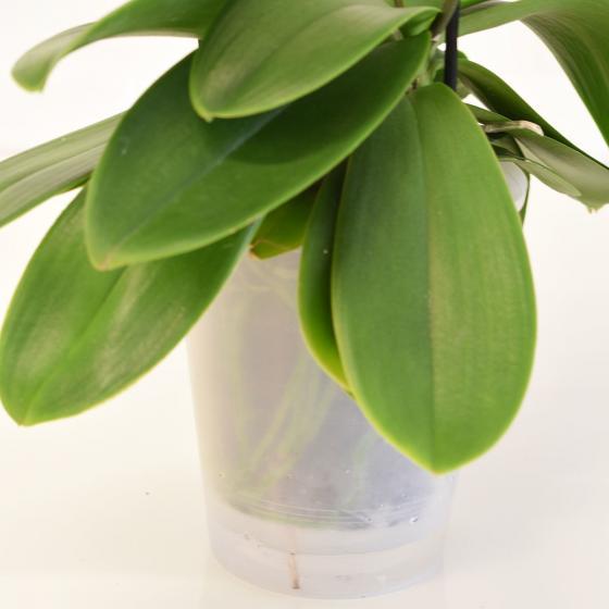 Schmetterlings-Orchidee Champion Swan inklusive Über- und Wasserspeichertopf | #5