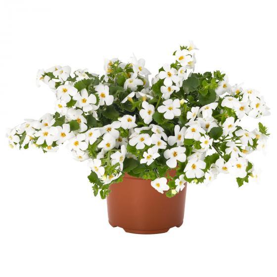 Weiße Schneeflockenblume | #5