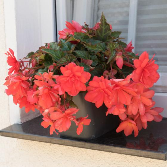 Corallfarbende Begonie Miss Malibu | #5