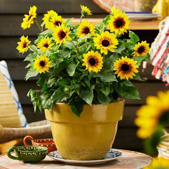 Premium Sonnenblume SunBelievable™, im ca. 13 cm-Topf | #5