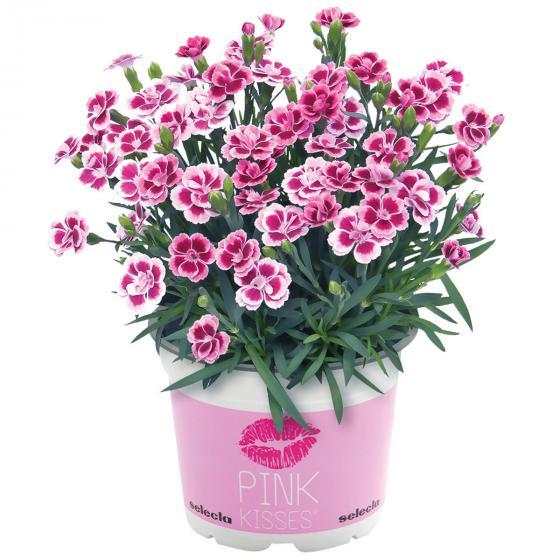 "Topfnelke ""Pink Kisses"" im Deko-Wasserspeichertopf | #5"