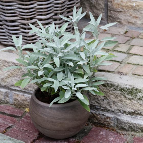 BIO Kräuterpflanze Marzipan-Salbei, im ca. 12 cm-Topf | #5