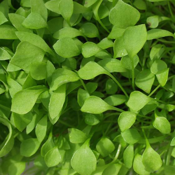 Saatgut-Holzbox Salatvielfalt, 7 Saatgut-Sorten | #5