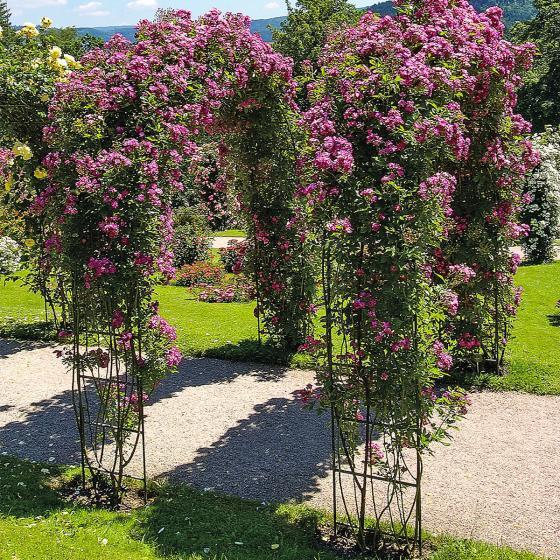 Kletterrose, lila, im ca. 24  cm-Topf | #5