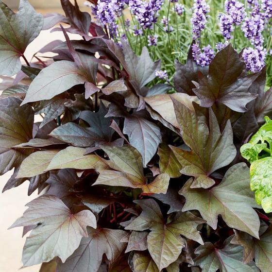Süßkartoffelpflanze Manihi, im ca. 13 cm-Topf | #5