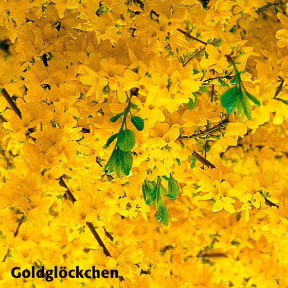 Gärtner Pötschkes Blütenhecke, 5 Pflanzen | #5