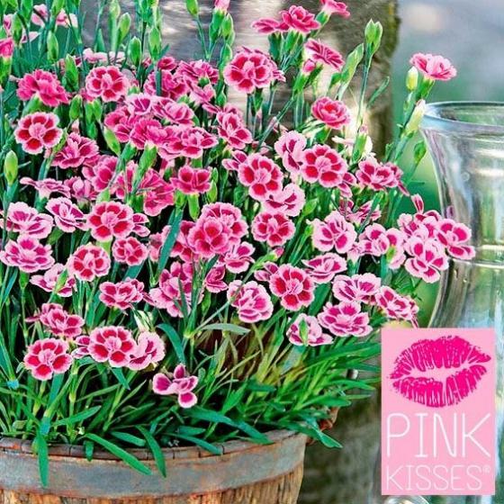 Prinzess-Nelke Pink Kisses® | #5
