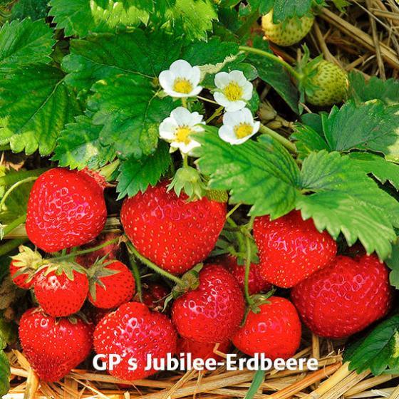 Erdbeerpflanzen-Sortiment Marathon | #5