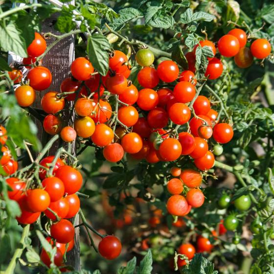 Tomatenpflanze Solena Sweet Red, veredelt, im ca. 12 cm-Topf | #6