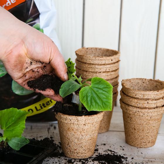 Mini-Jungpflanze Gurke Mini Stars F1, veredelt | #6