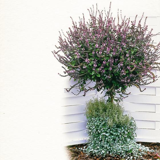 Küchenkräuterpflanze Basilikum Magic Blue, im ca. 12 cm-Topf | #6