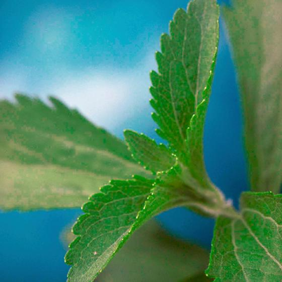 Kräuterpflanze Stevia Sweety, im ca. 12 cm-Topf | #6