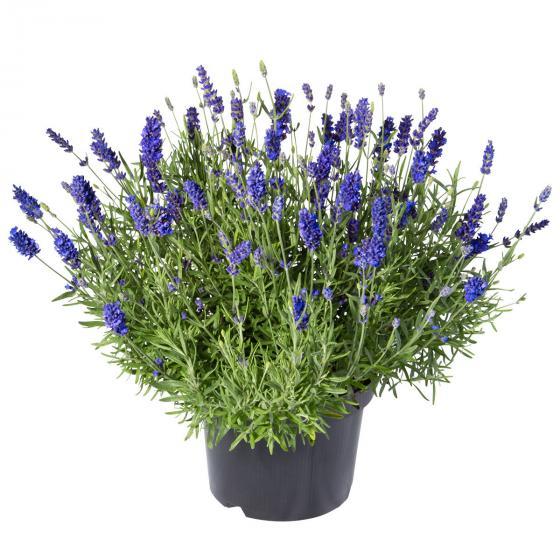 Lavendel Essence Purple, XL-Qualität | #6