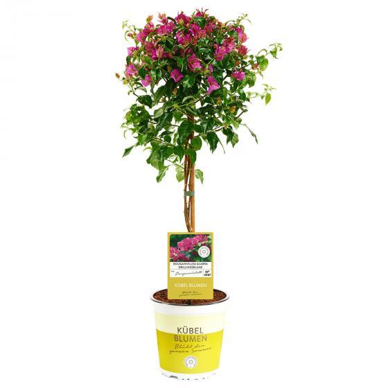 Wunderblumen-Stamm, im ca. 19 cm-Topf | #6