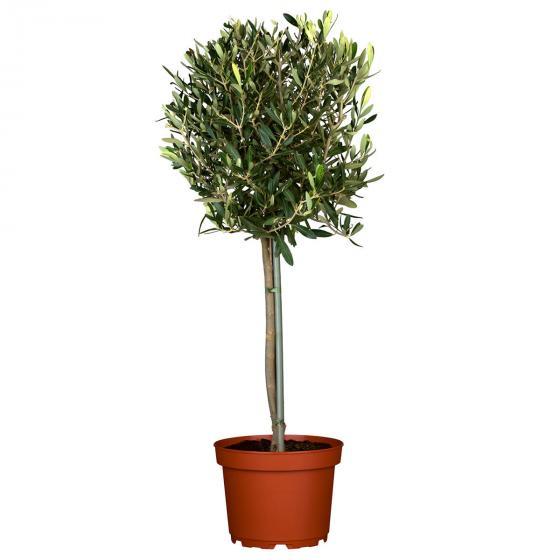 Oliven Stämmchen | #6