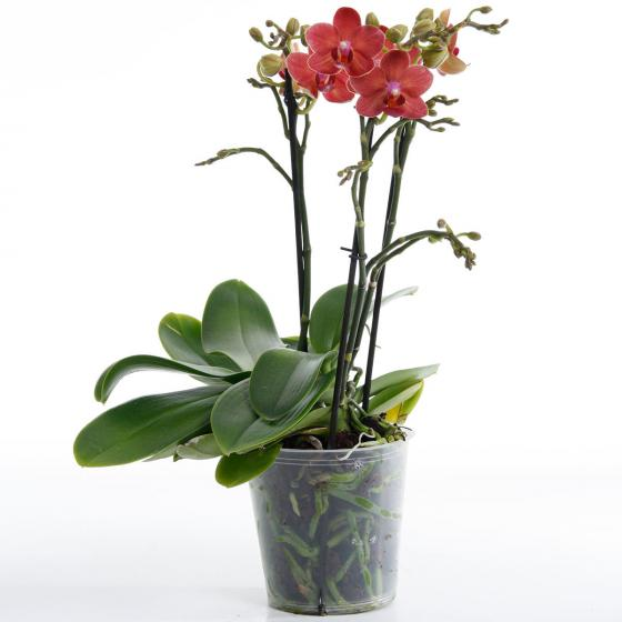 Schmetterlings-Orchidee Sunset, im ca. 12 cm-Topf | #6