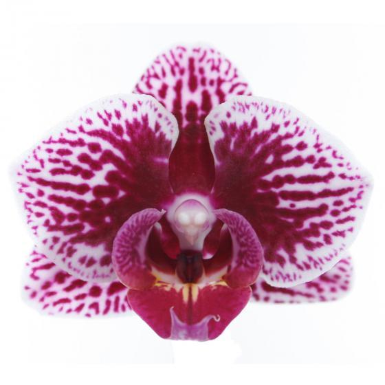 Schmetterlings-Orchidee Champion Swan inklusive Über- und Wasserspeichertopf | #6